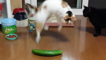 Why Are Cats so Scared of Cucumbers (Video)