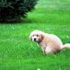 Как научить собаку ходить в туалет на улицу