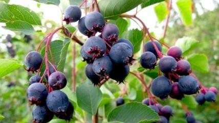 Ирга: польза и вред ягоды, витамины и микроэлементы