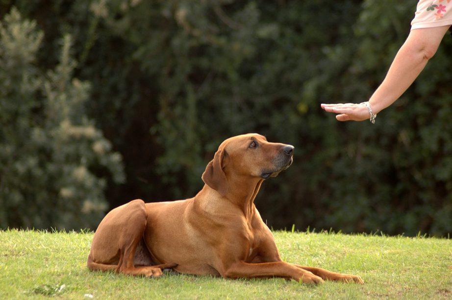 Как научить собаку команде «Лежать». Пошаговое руководство, ошибки при обучении
