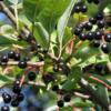 Польза и вред ягод черёмухи, пищевая ценность, витамины и минералы