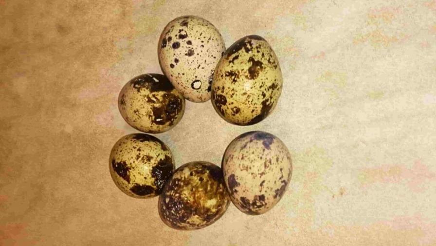 Всё о перепелиных яйцах: польза, вред, как нужно варить.
