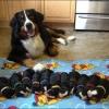 Сколько собака вынашивает щенков? Календарь беременности, уход. Всё о щенности