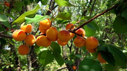 Польза и вред абрикосов для организма человека. Пищевая ценность