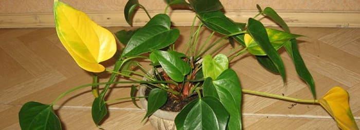 болезни антуриума листьев фото