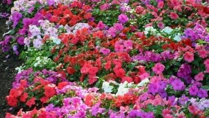 Бальзамин садовый: посадка и уход с фотографиями. Виды для сада