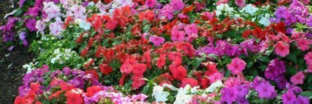 много разноцветных бальзаминов