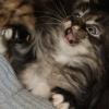 Что делать, если котенок чихает? Всё ли в порядке?