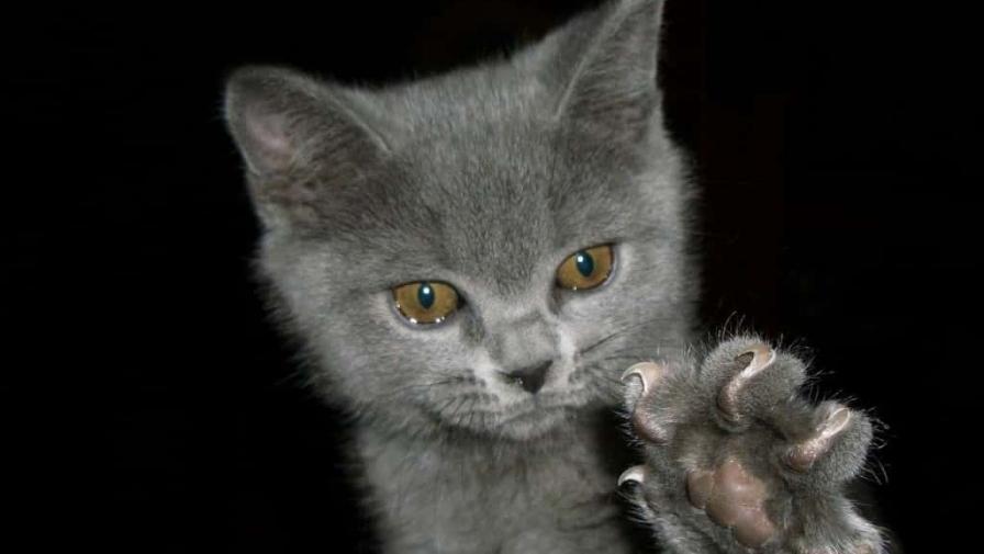 Котенок кусается и царапается, что делать?