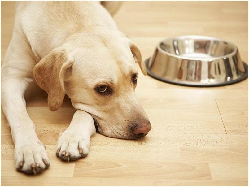 Собака будет грустной, если у нее не в порядке пищеварение