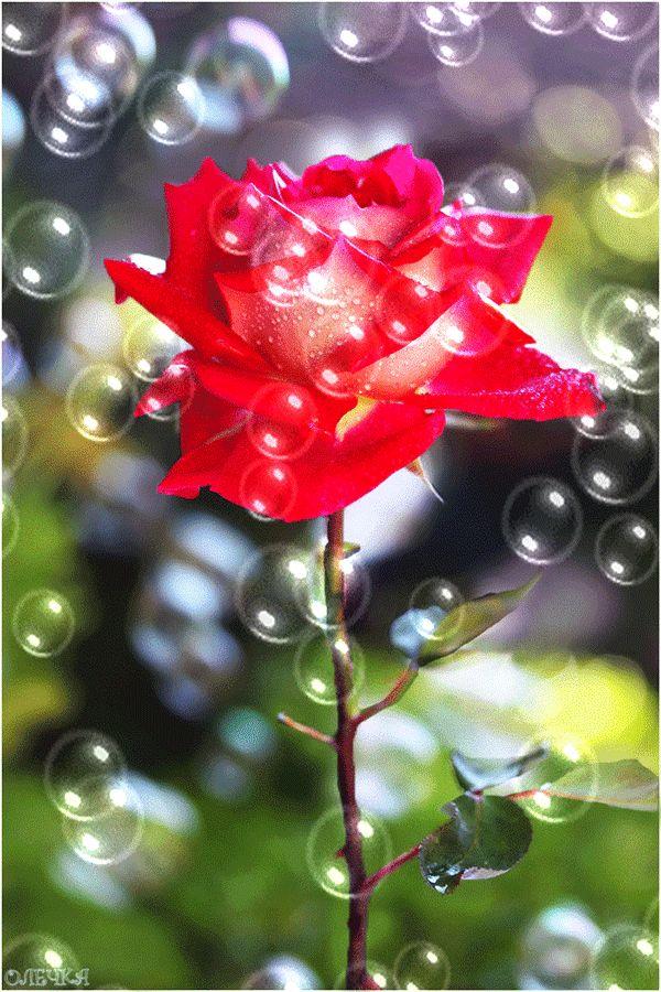 Гифки Розы. Красивые бутоны, букеты, цветение. 70 GIF анимаций