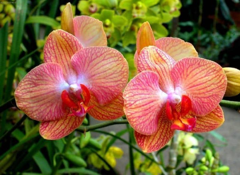 орхидея фаленопсис оранжевая с красным