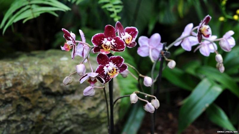 орхидея фаленопсис в саду