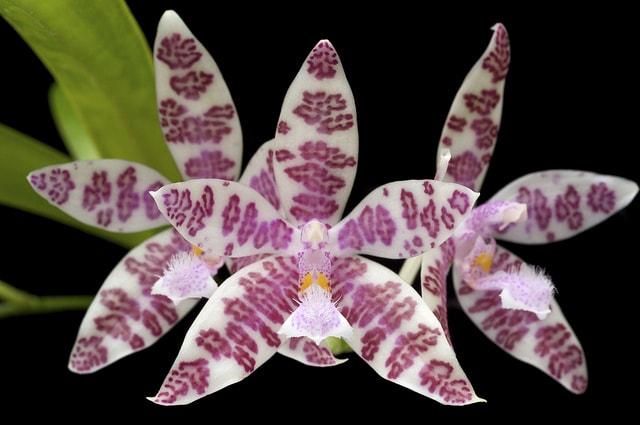 фаленопсис цветение
