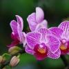 Орхидея Фаленопсис: уход в домашних условиях после магазина