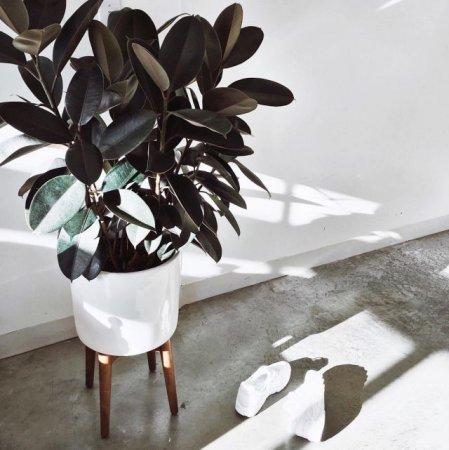 Ficus elastica «Black Princ»