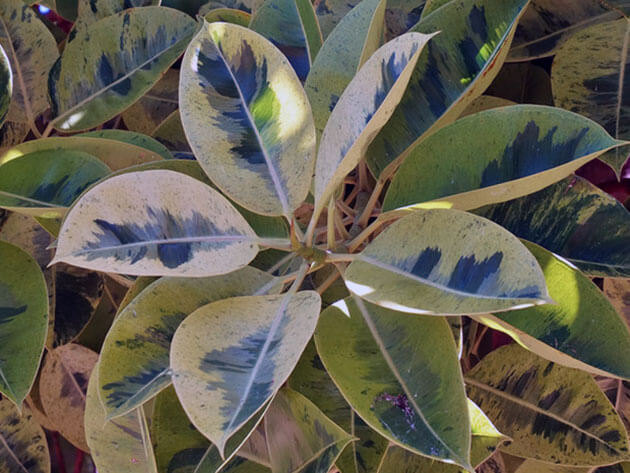 Ficus-elastica-trikolor