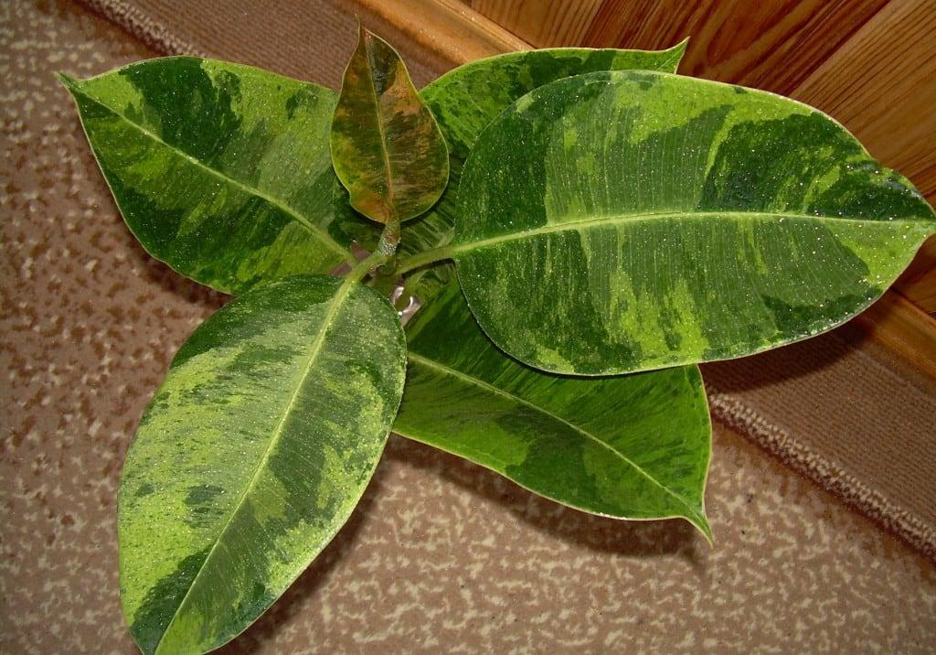Ficus elastica cv.'Doescheri'