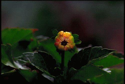 гифка распускается цветок