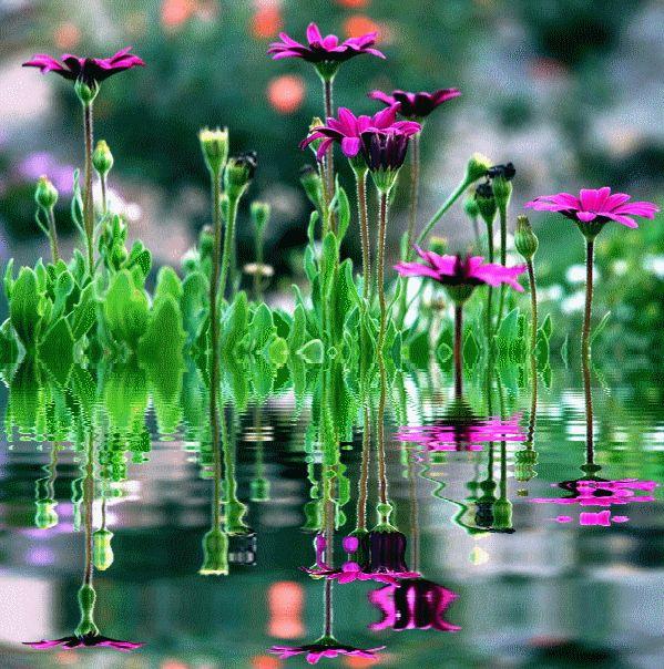 гифка фиолетовые цветы в воде