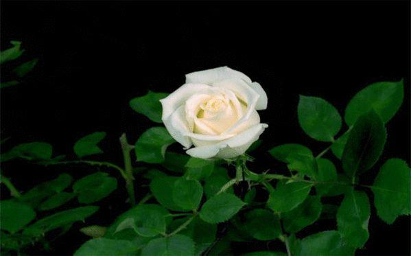 гифка белая роза расцветает