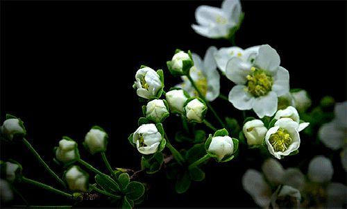 гифка белые цветки распускаются