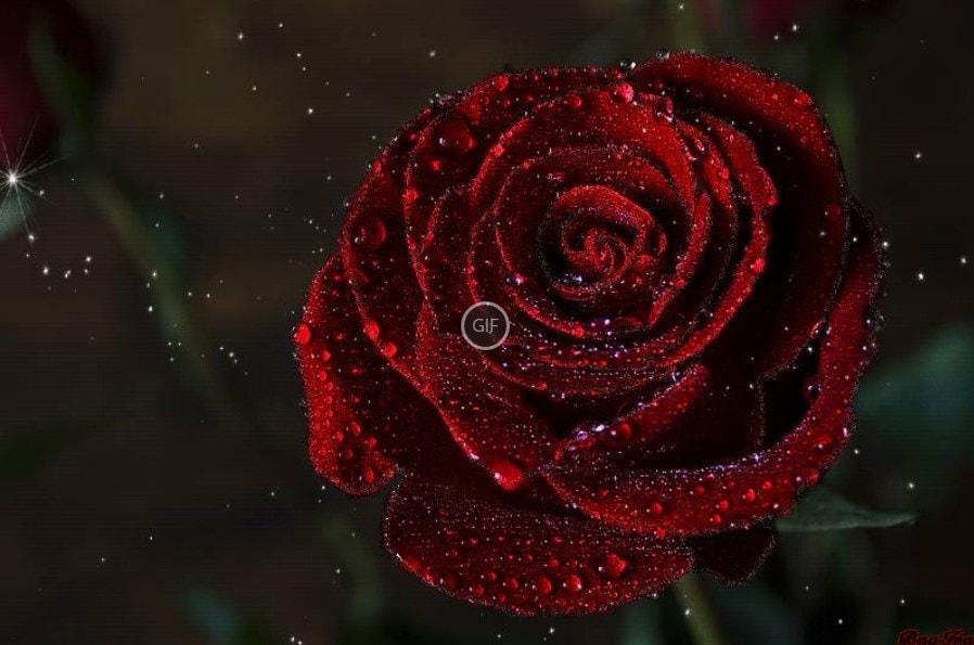 Гифы розы красивые картинки