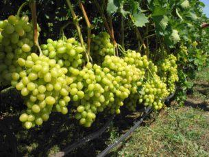 Виноградные плантации