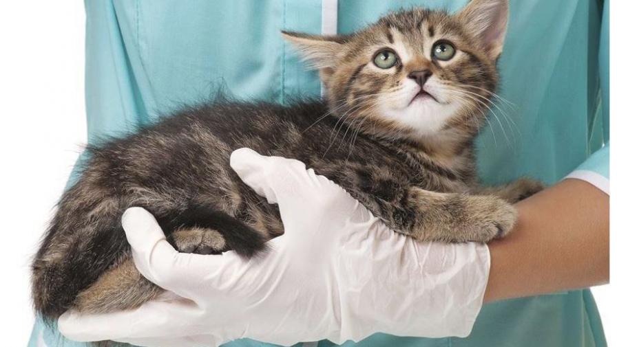 глисты у кошек симптомы фото и лечение