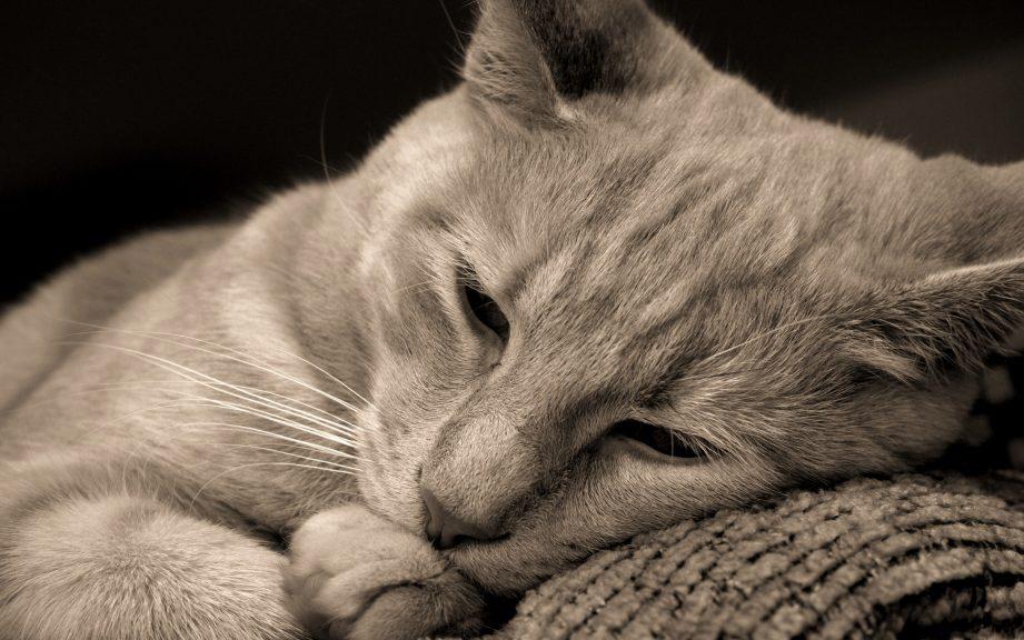 глисты у кошек симптомы