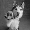 Как научить собаку команде «дай лапу»: дрессируем как профессионал