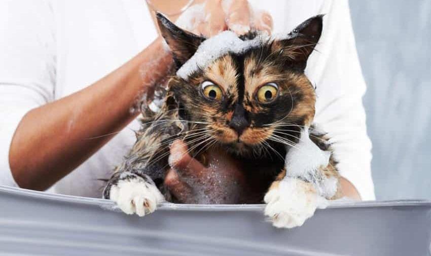 Как правильно мыть кошку, чтобы все уцелели