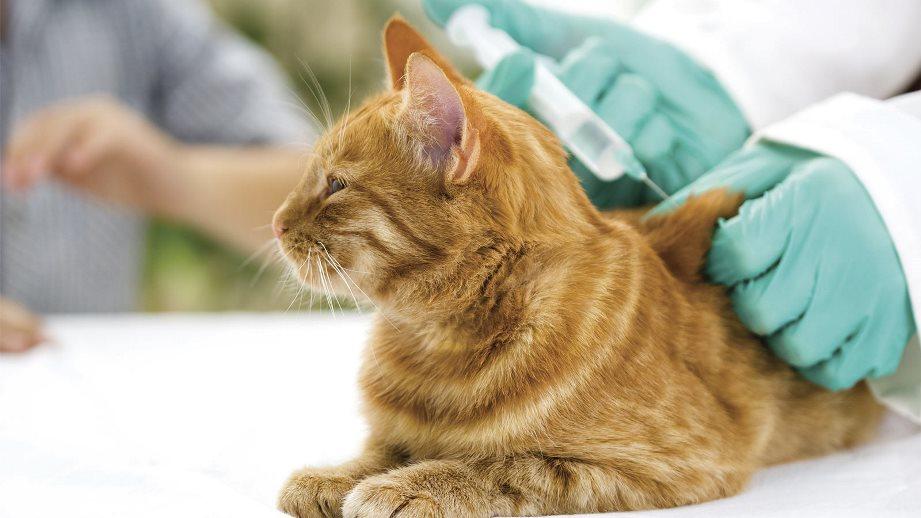 Как кошке сделать укол в бедро