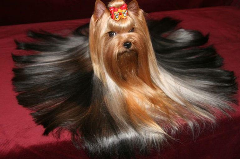Декоративная собака с очень длинной шерстью