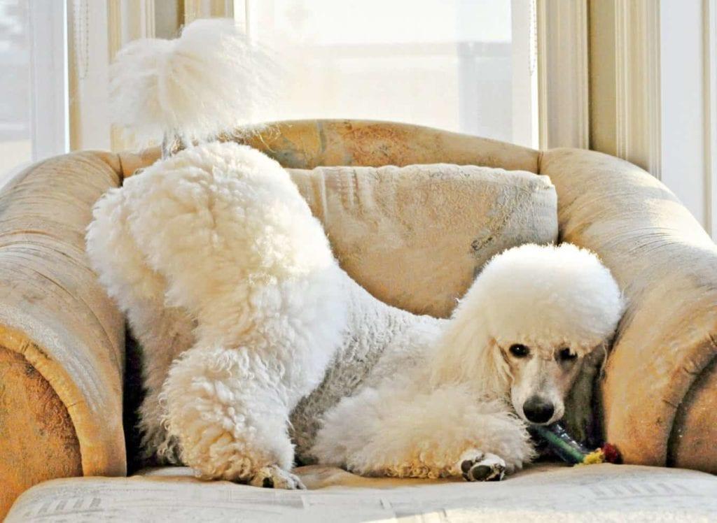 Белый пудель на кресле