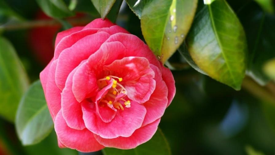 Цветок камелия: уход в домашних условиях. Фото и видео. Разновидности цветка