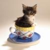 Маленькие породы кошек: 9 крохотных очаровашек