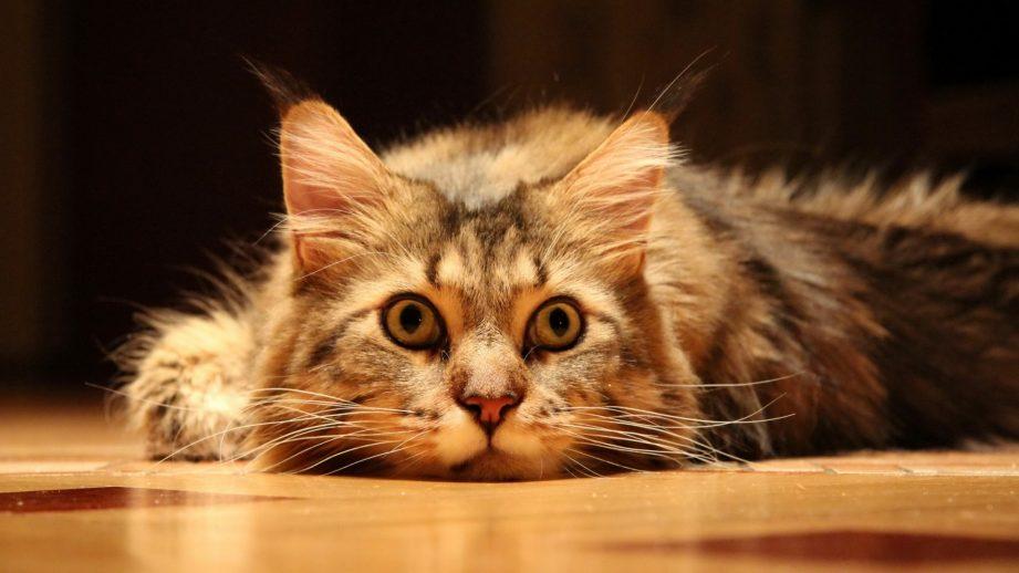 Что делать, если кот метит в квартире