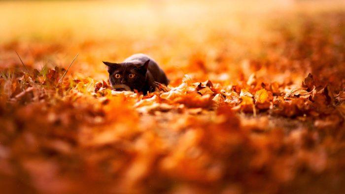Обои на рабочий стол осень с черным котиком