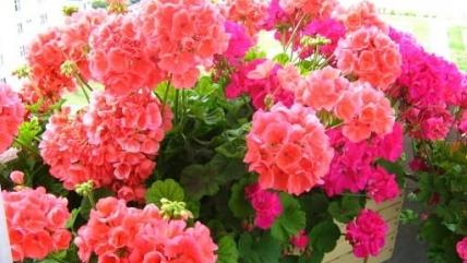 Пеларгония из семян в домашних условиях: как выращивать и ухаживать?
