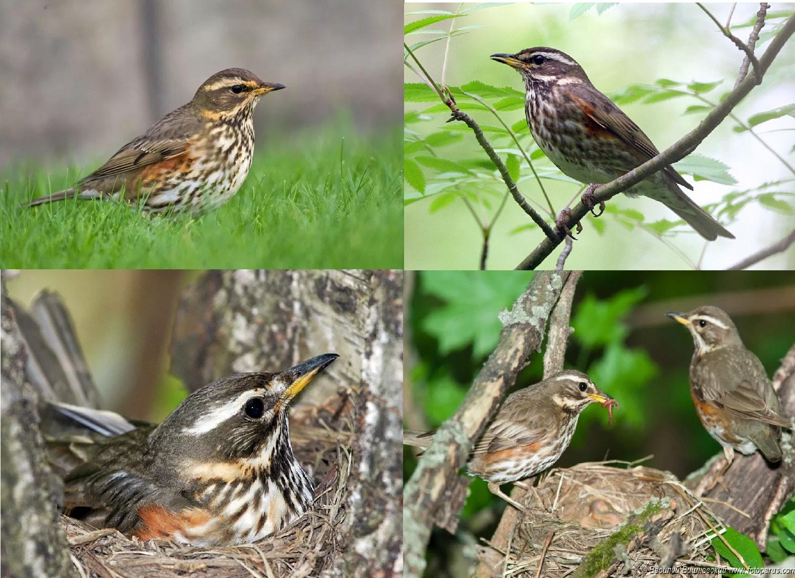 Фотографии перелетной птицы Дрозд белобровик