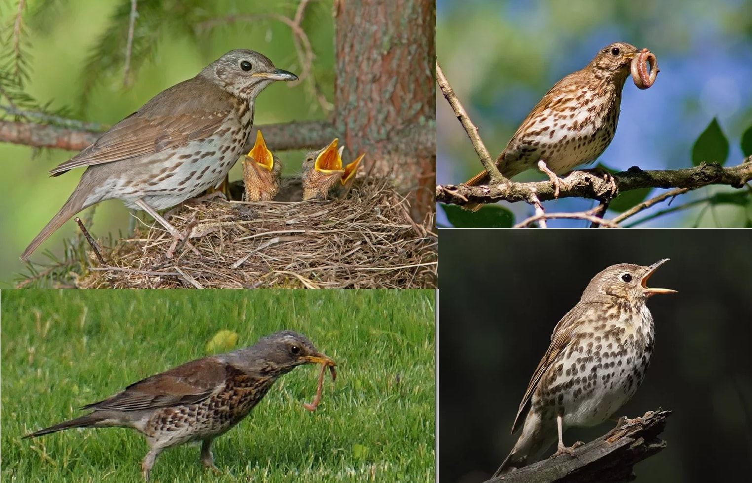 Певчий дрозд. Фотографии перелетной птицы