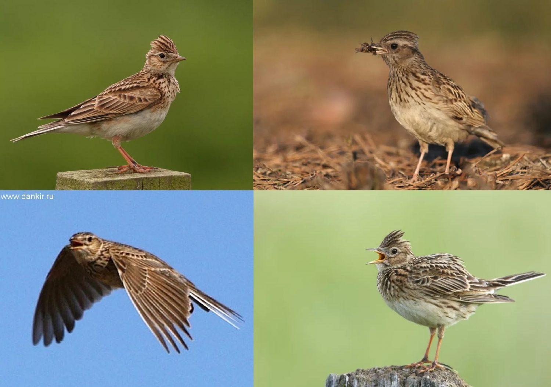 Жаворонок полевой. Фотографии перелетной птицы