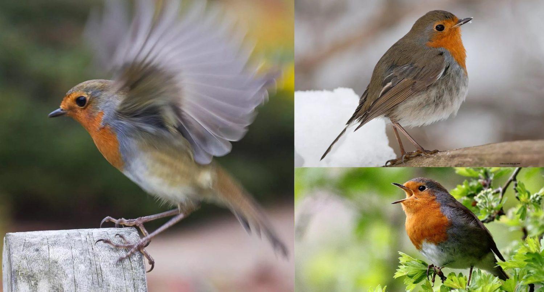Зарянка. Коллаж из фотографий перелётной птицы