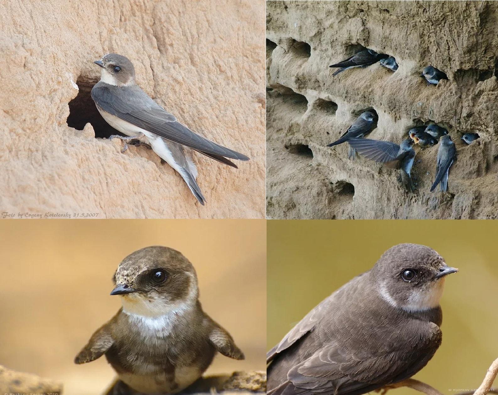 Фотографии перелетной птицы Ласточка Береговушка