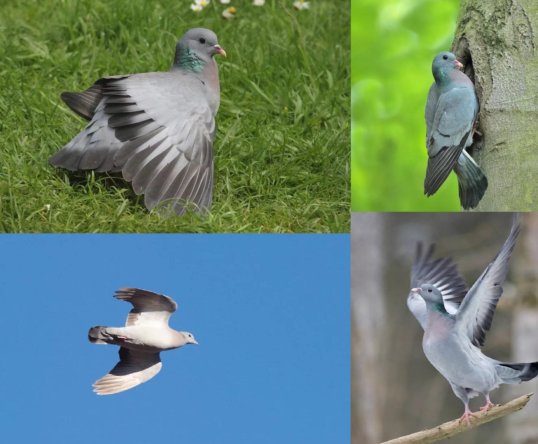 Клинтух. Коллаж из фотографий перелётной птицы