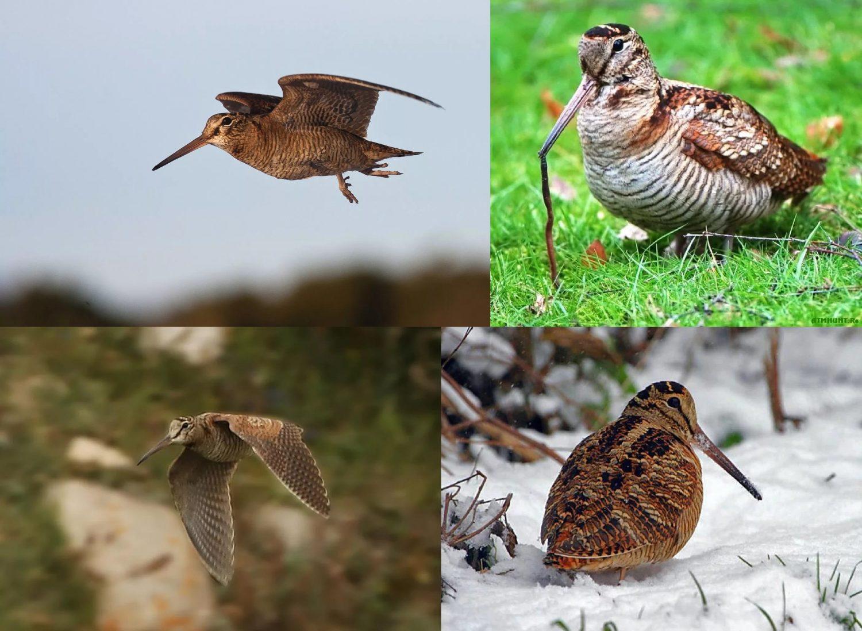 Фотографии перелетной птицы Вальдшнеп