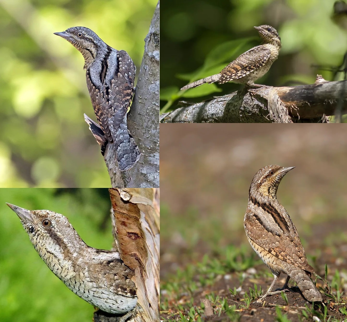 Фотографии перелетной птицы Вертишейка