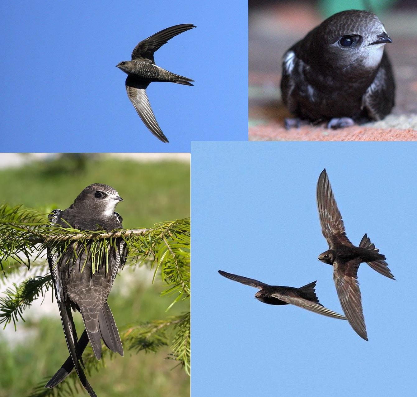 Чёрный стриж. Коллаж из фотографий перелётной птицы