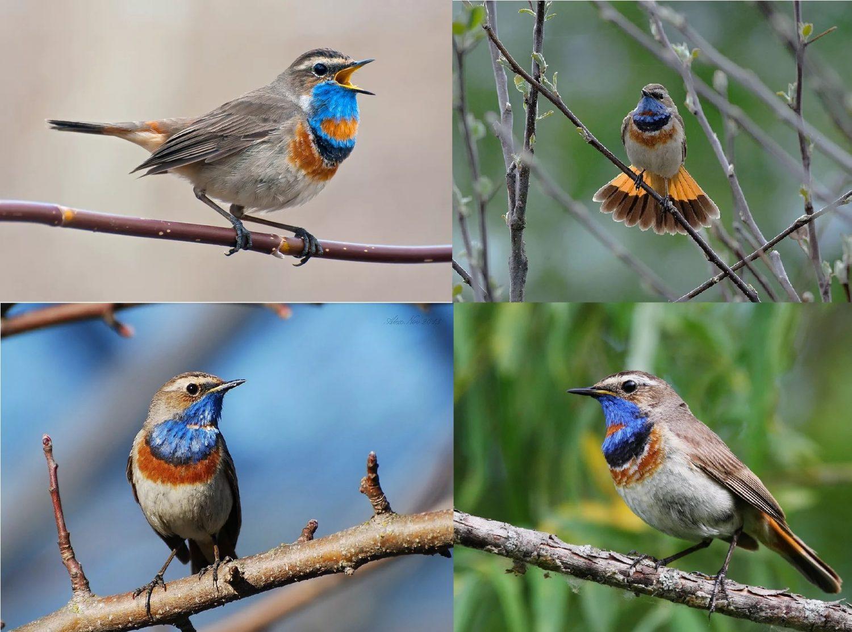 Фотографии перелетной птицы Варакушка